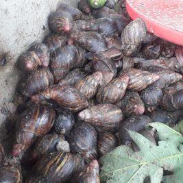 yoma-farm_snails
