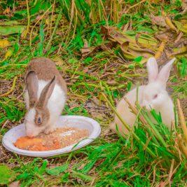 yoma-farm_white-rabbits